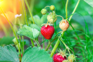 Strawberry in the garden