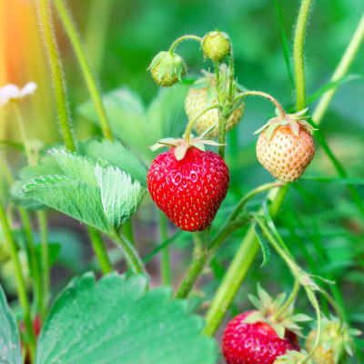 The Dirty Secret Behind Strawberries